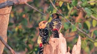 A lovely Pair of Crested Barbets