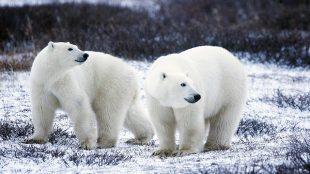 polar-bears-arctic