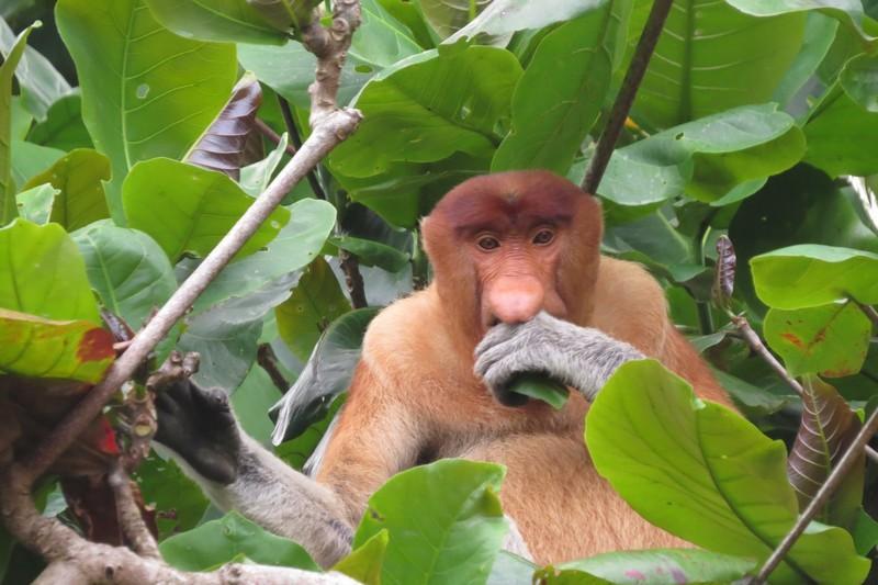 Grandfathery looking potbellied Proboscis monkey