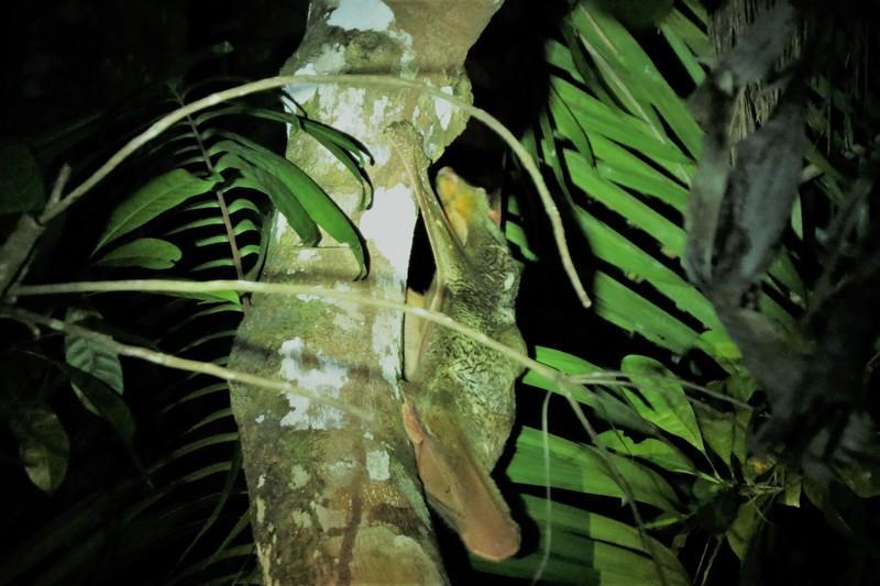 A female flying lemur
