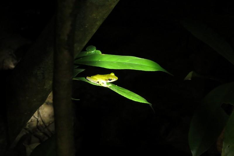 green poisonous frog