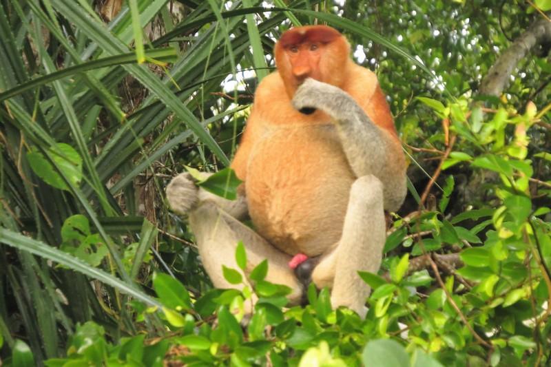 Proboscis monkey eating