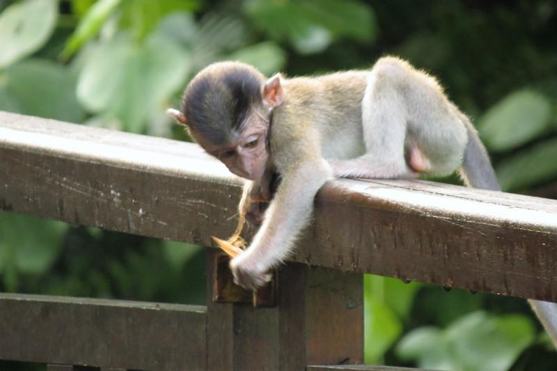 Long Tailed Macaque Baby