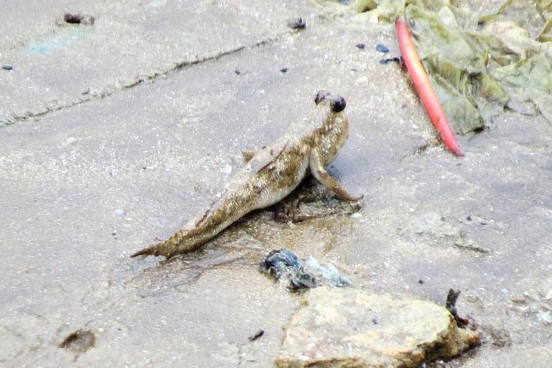 Mud skippers