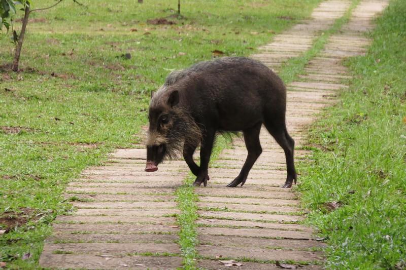 The common Bornean bearded pig