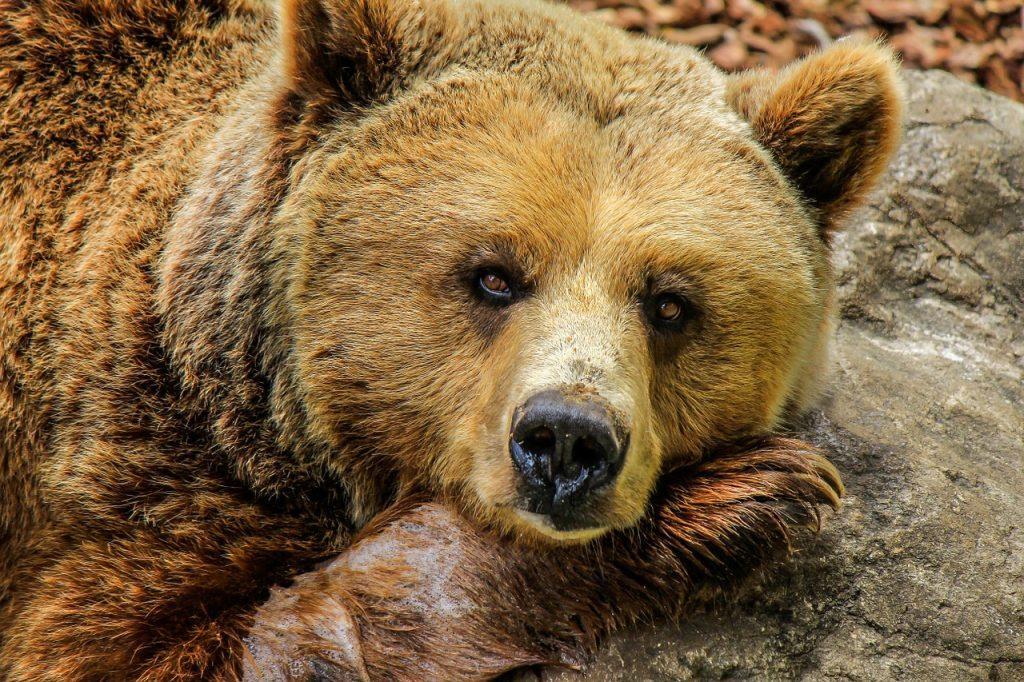 bears romania