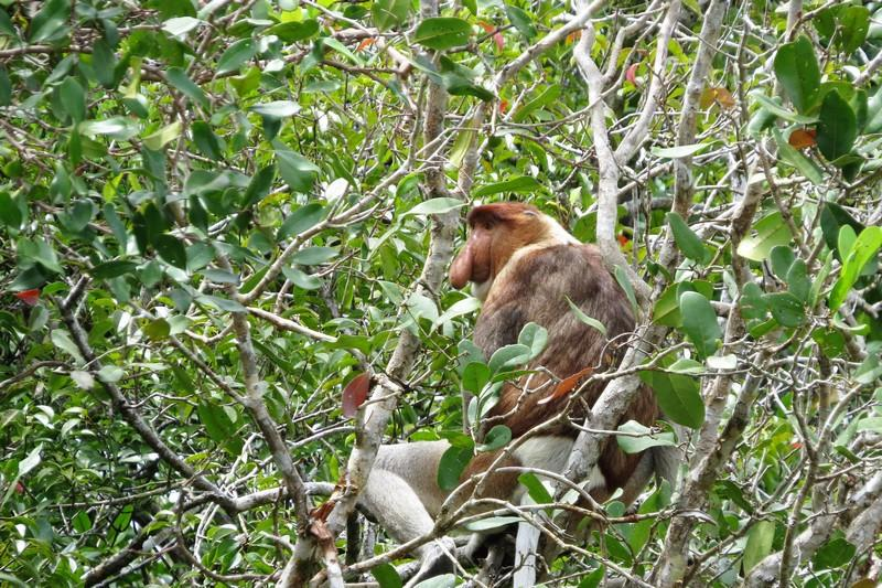proboscis monkey in the mangroves