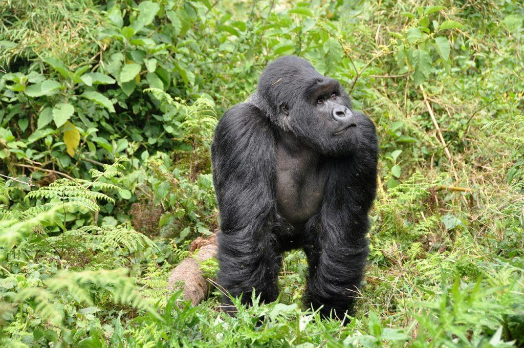 gorillas-silverback rwanda