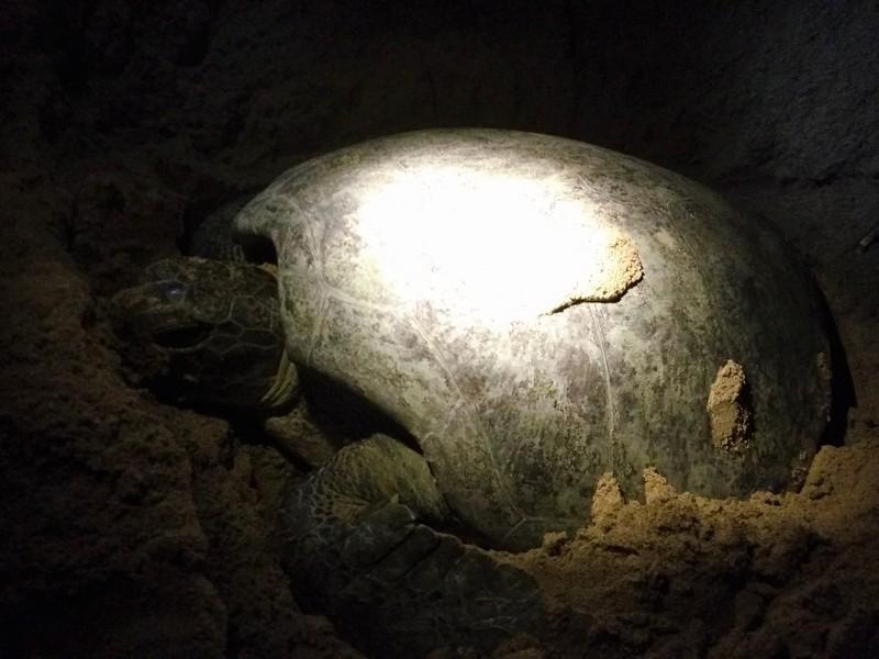 sea turtle satang