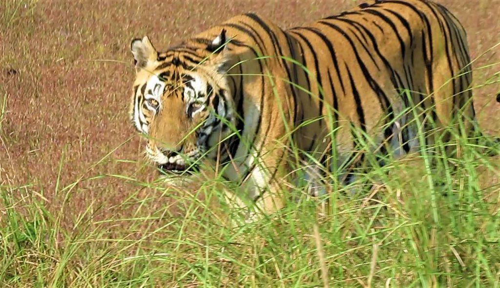 tiger spotting india