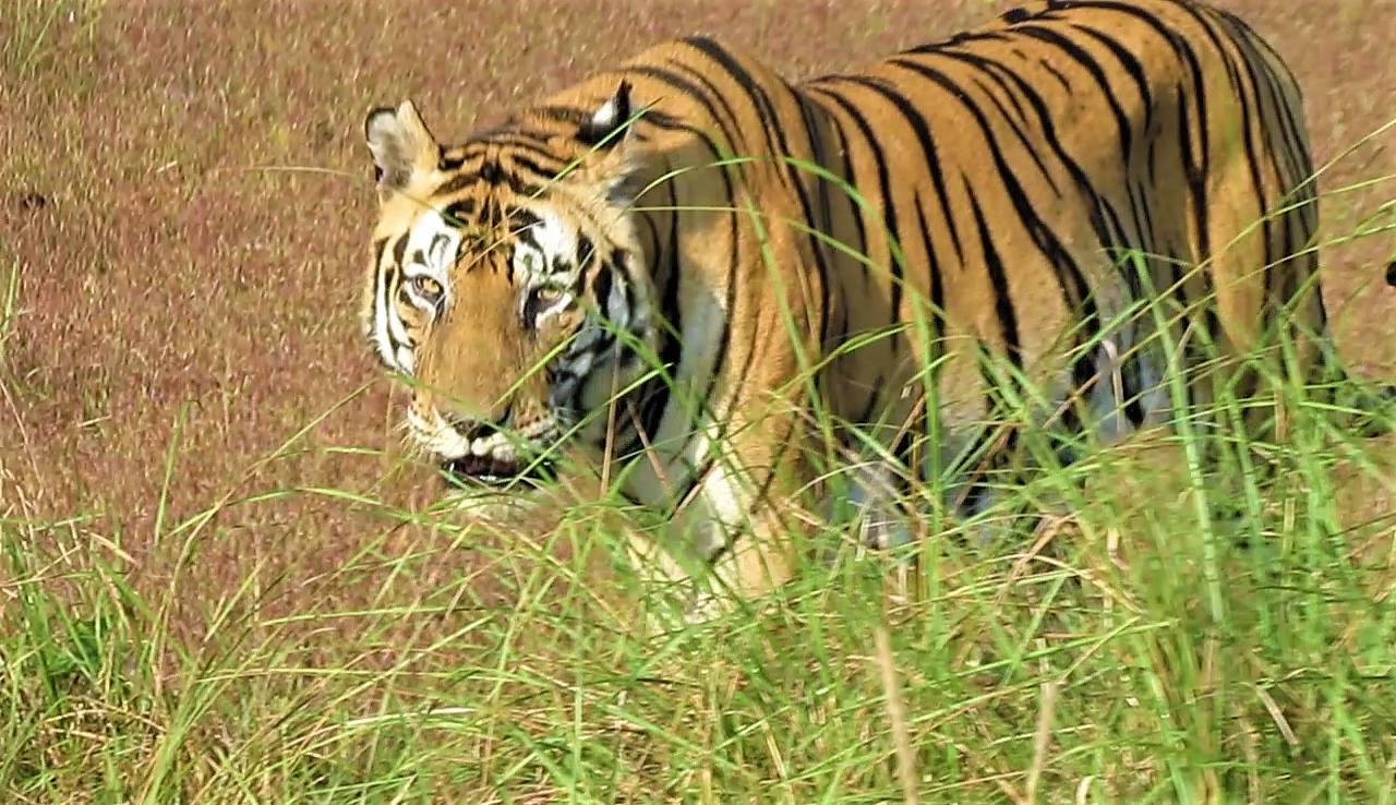 Tiger Spotting 101 - The Unlucky Adventurer's Guide