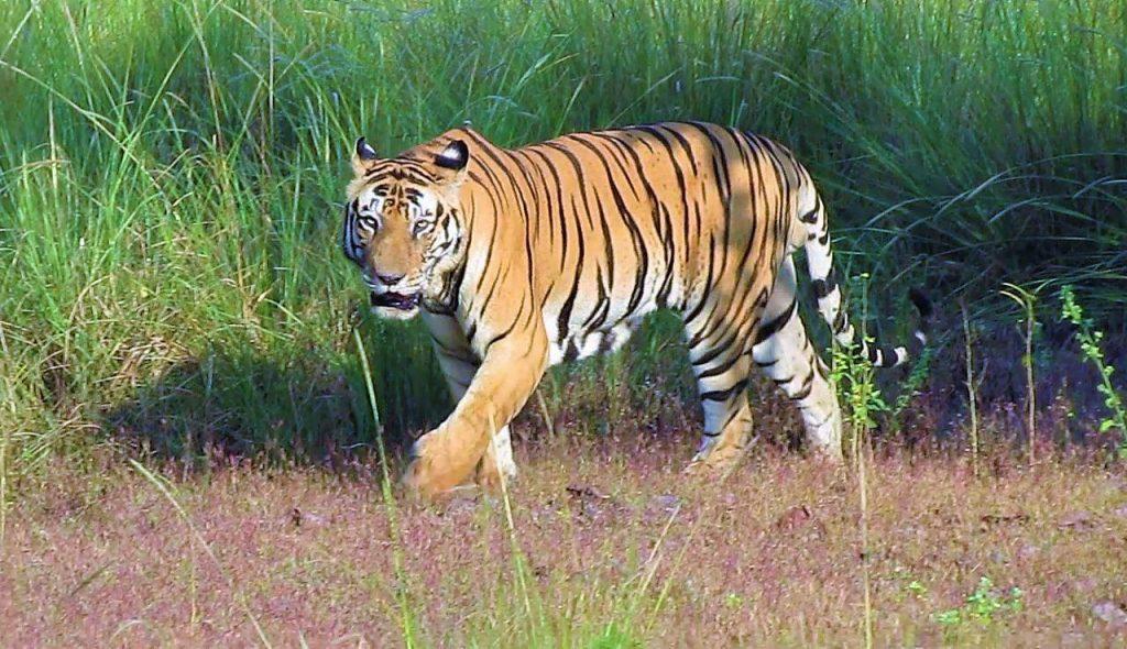 Tiger munna kanha