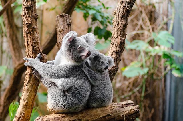 koala cairns