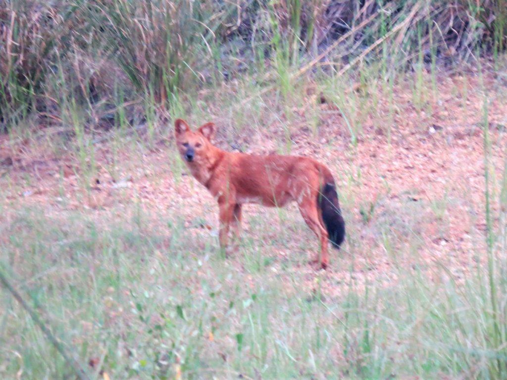 wild dogs satpura