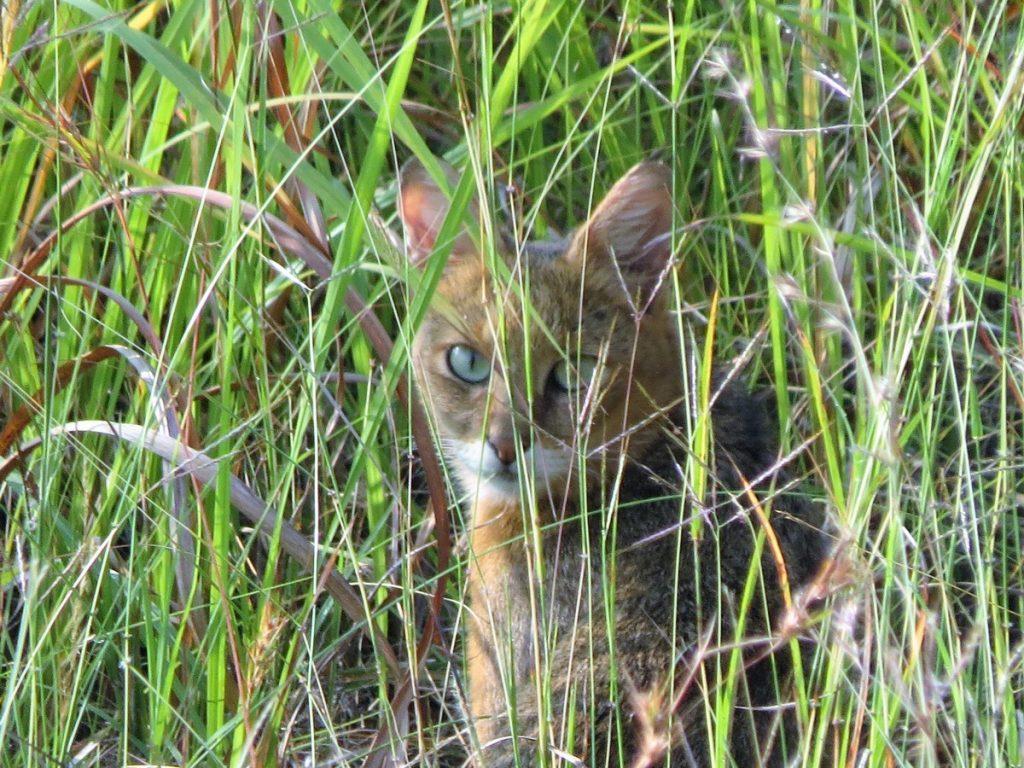 jungle cat satpura