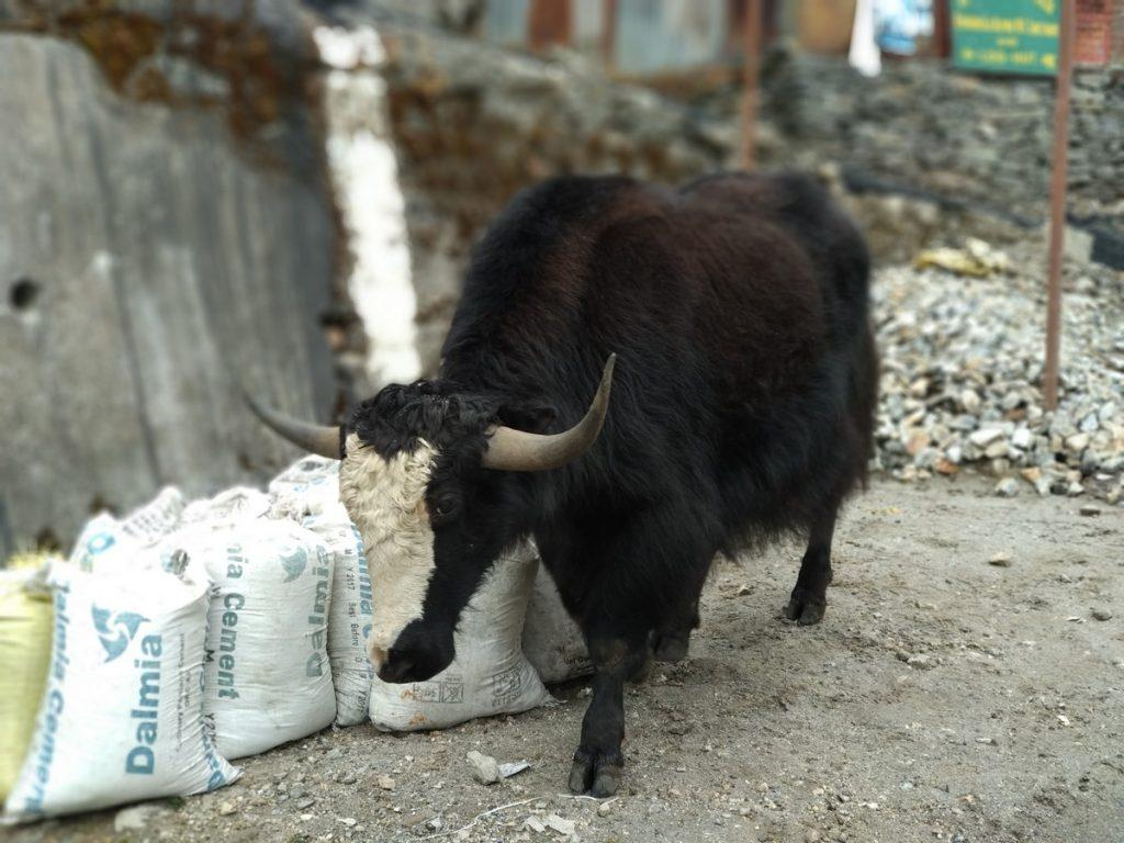 Lone wild yak on the road