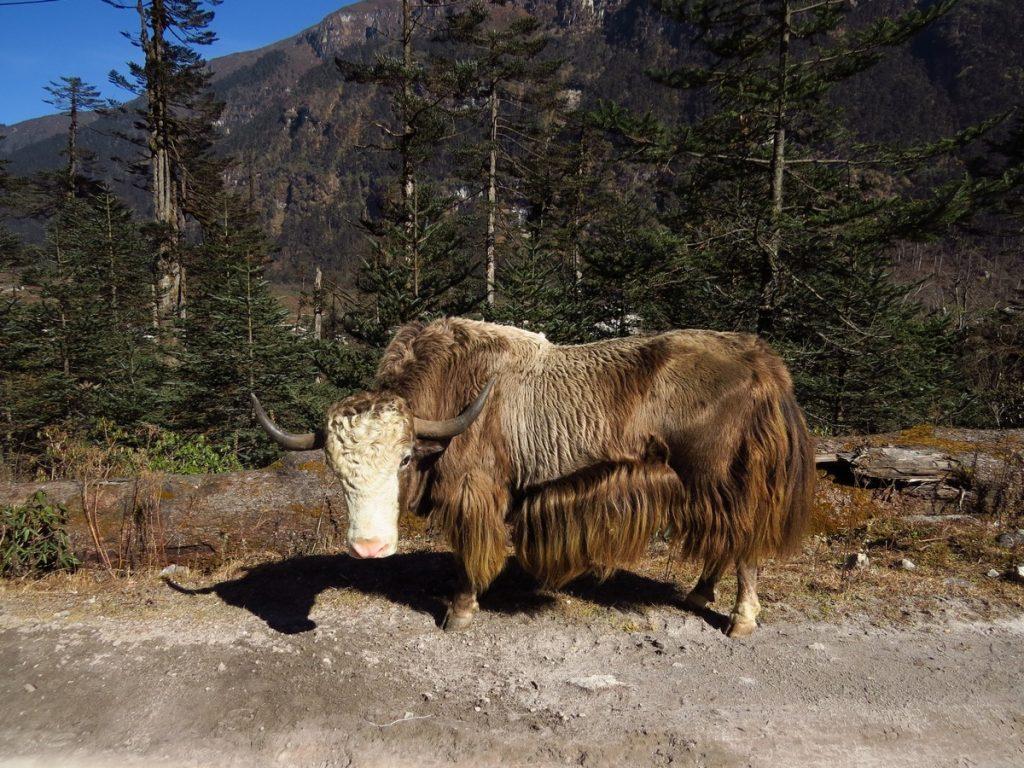 yaks photography