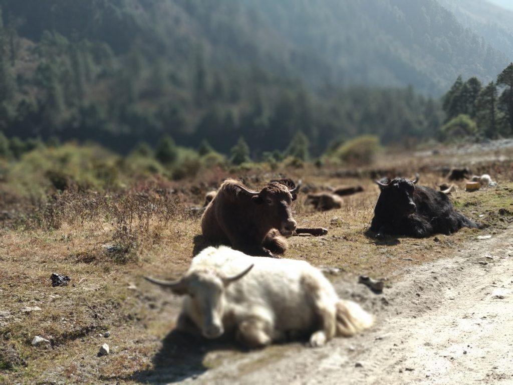 wild yaks yumthang