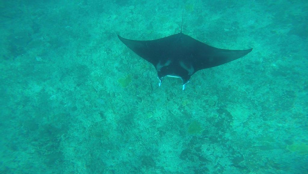 Manta rays at Manta point