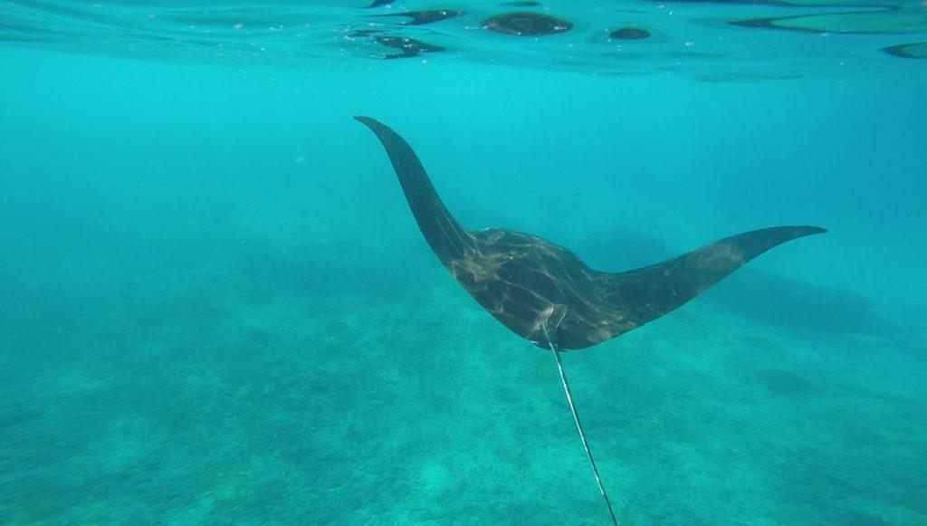 manta rays manta point
