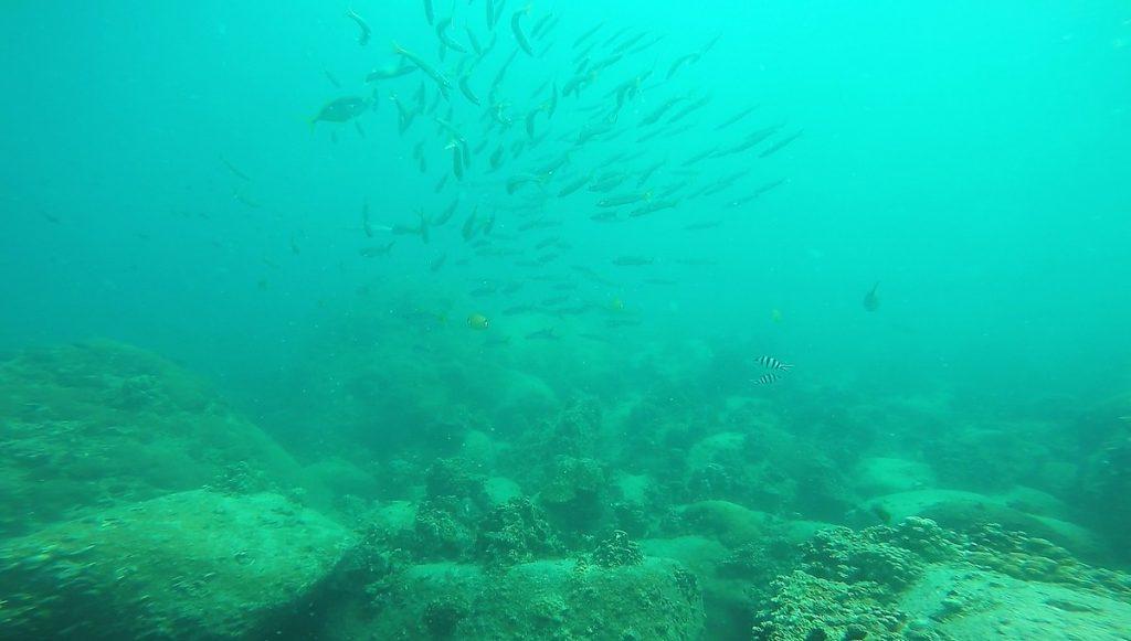 school ofYellowtail barracuda