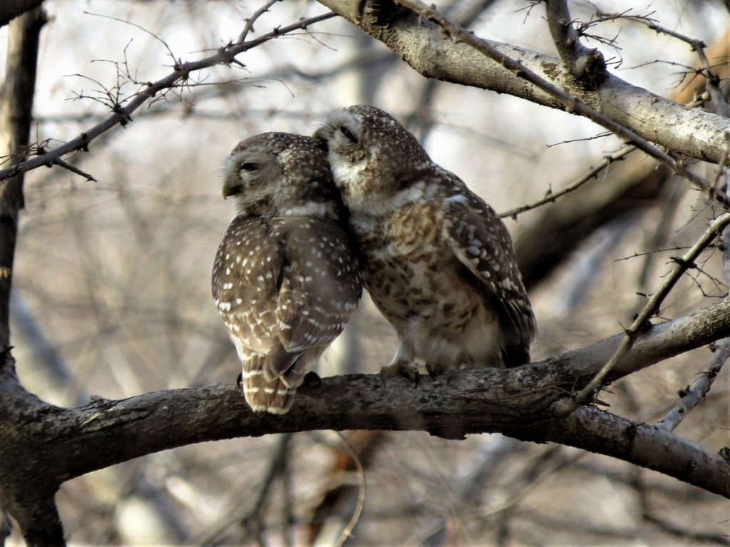 Spotted Owlets preening