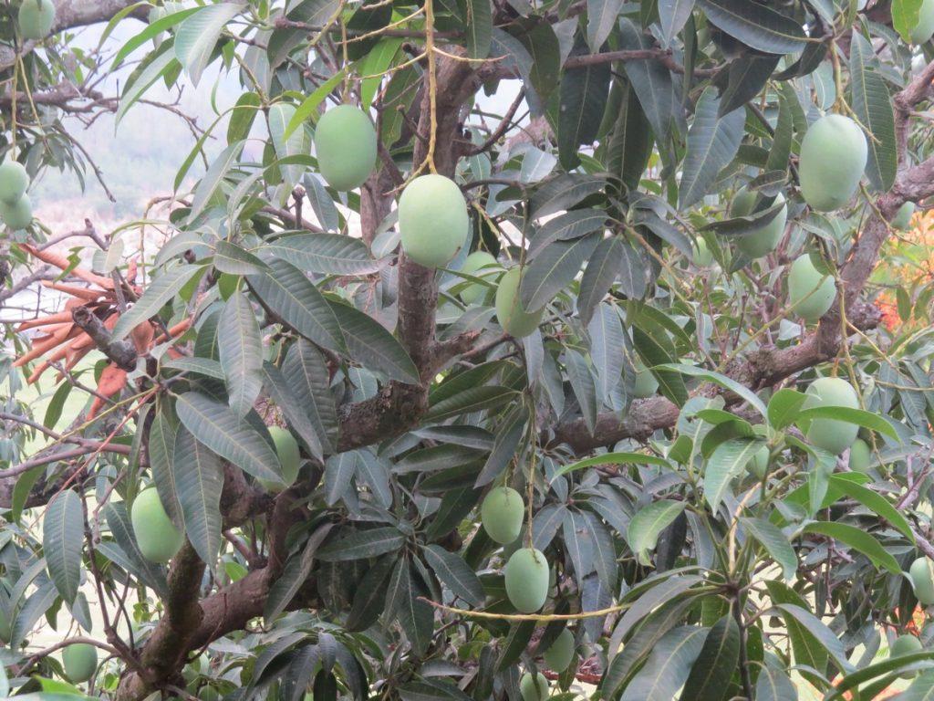 fruit plucking