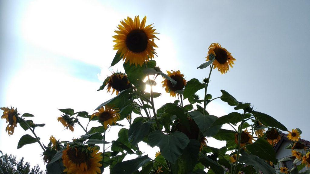 Pretty sunflowers in Bratislava