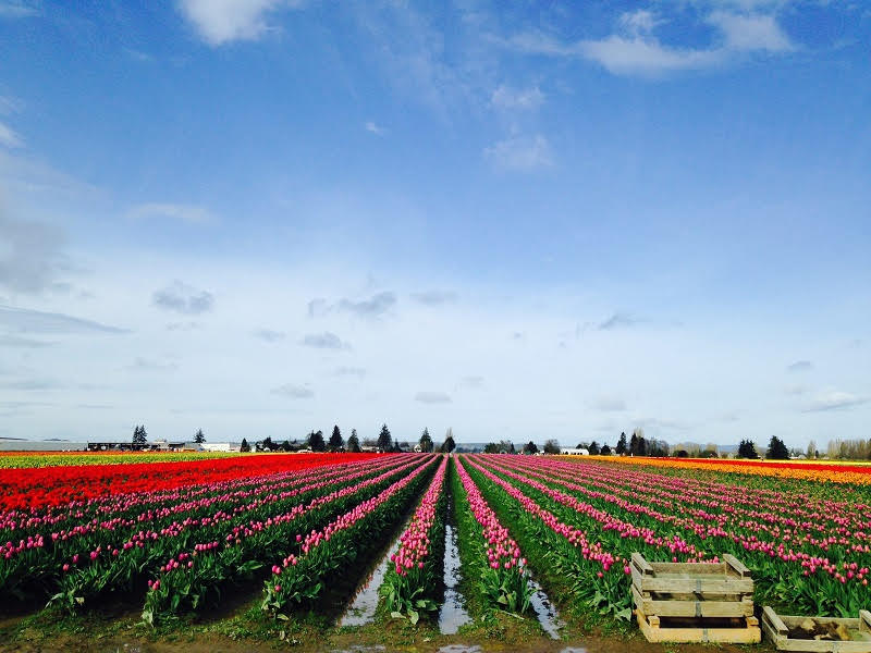 Tulips at Roozengaarde, Skagit Valley, WA