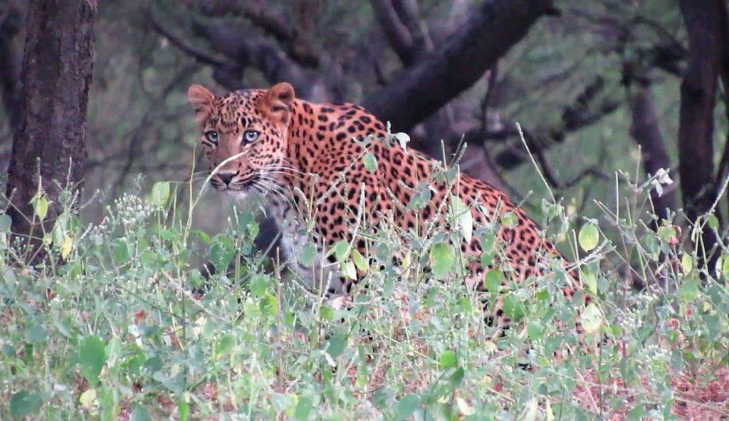 leopard cat in jhalana