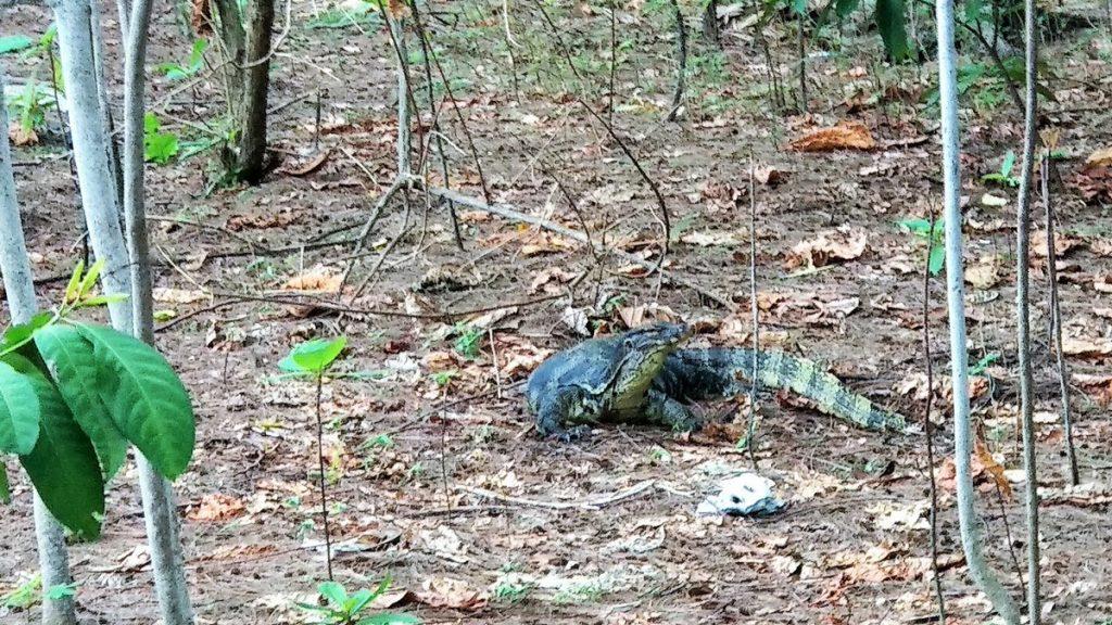 monitor lizard tiger island